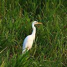 Intermediate Egret. by trevorb