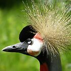 The Grey Crowned Crane  by angeljootje