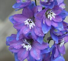 Two Toned Blue Larkspur In The Rain. by Tracy Faught