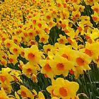 Daffodils in Cornwall by Lizzylocket