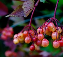 Highbush Cranberry by James Birkbeck