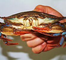 Maryland Blue Crab by Paulette1021