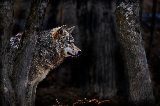 Timberwolf   by Michael Cummings