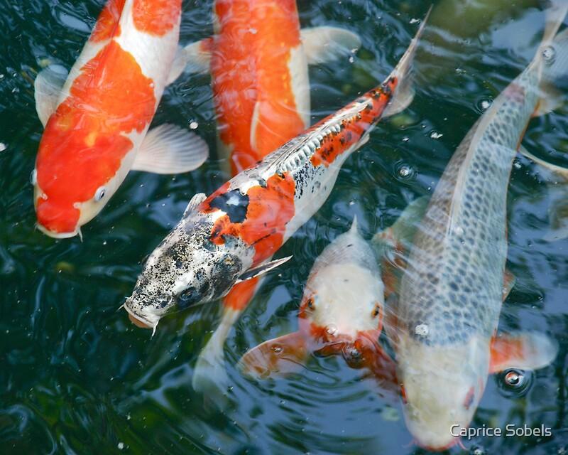 Nishikigoi japanese carp by caprice sobels redbubble for Japanese carp fish