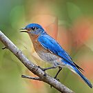 Mr. Bluebird  by Bonnie T.  Barry