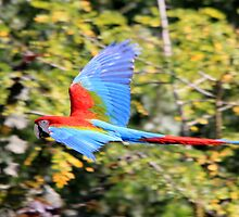 Red-and-green Macaw (Ara chloropterus)  by DutchLumix