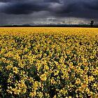 Canola Field by Stephen Ruane