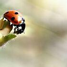 Ladybug by Dragos Dumitrascu