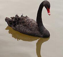 Black Swan by Gabriel Skoropada