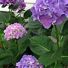 HYDRANGEAS IN A CAPE COD GARDEN by Joan Harrison