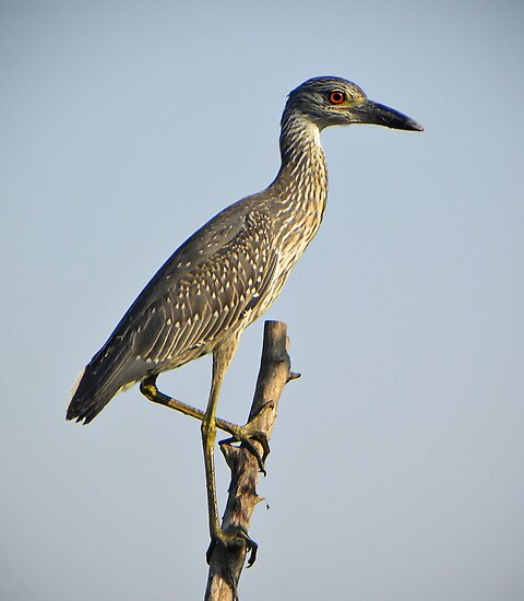 Juvenile Yellow-Crowned Night Heron by venny