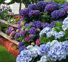 A TEXTURED MASS OF HYDRANGEAS by Joan Harrison