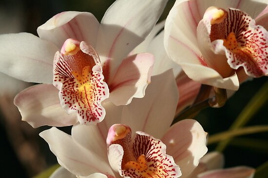 Orchids 001 by Kezzarama