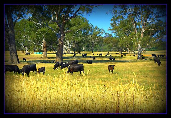 Cows in the country by Kerry  Hill