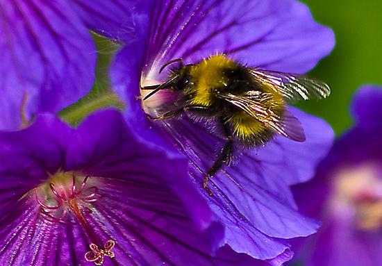 The Bee by Trevor Kersley