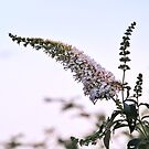 Buddleia Davidii by WatscapePhoto