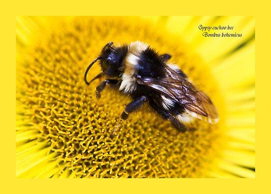 Gypsy cuckoo bee, Bombus bohemicus. by inkedsandra