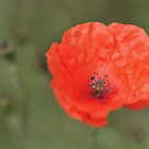 Summer Poppy... by Zuzana D Photography