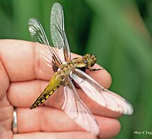 Broad-bodied Chaser on the photographer's hand A by pogomcl