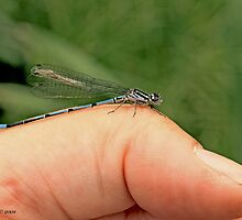 Azure Damselfly in the photographer's thumb by pogomcl
