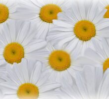 Daisies 6 by dbuckman