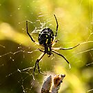 Banana Spider 4 by Sean McConnery