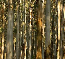 Gums, Mount Dandenong  by Anthony Milnes