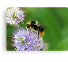 Red shanked carder bee,Bombus ruderarius. Canvas Print
