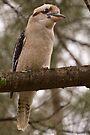 Kookaburra 1 by Werner Padarin