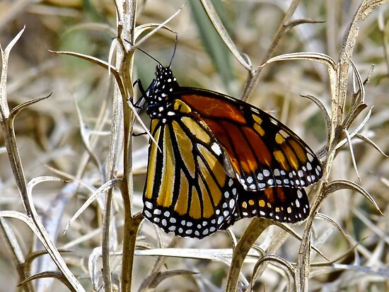 Wanderer Butterfly by Karen Stackpole