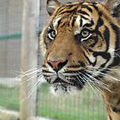 Eye of the tiger by NowhereMan
