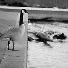 Goose (Award Winning Photo!) by Jake Eisner