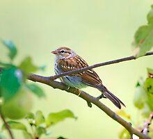 Summer Sparrow Friend by Deborah  Benoit
