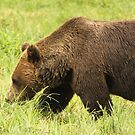 Bear by vasu