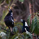 Australian magpies singing by Odille Esmonde-Morgan