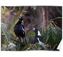 Australian magpies singing Poster