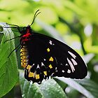 Butterfly by Gail Falcon