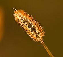 Wheat  by Matthew Hutzell