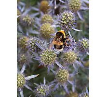 Bumble Bee on purple flower Photographic Print