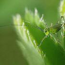 Grasshopper nymph by Lifeware