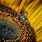 Sun flower by Mike Higgins