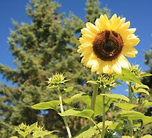 Sunflower from planet earth by Albert1000