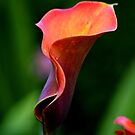 ~ Colourful Calla Lily ~ by Sandra Cockayne