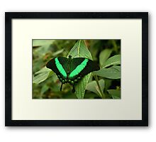 Emerald Swallowtail Framed Print
