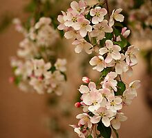 White Tree Bloom - Pink and White Crabapple Flower by ameliakayphotog