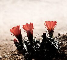 Blooming Desert - Three Cactus Flowers by cslentz