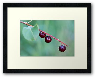 Choke Cherries by James Birkbeck