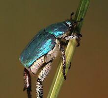 Hoplia coerulea by jimmy hoffman