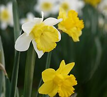 Winter's Daffodils by SharonD