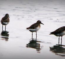 Least Sandpipers by DottieDees